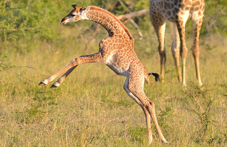 9 Things To Know About Giraffes Round The World Experts Uk