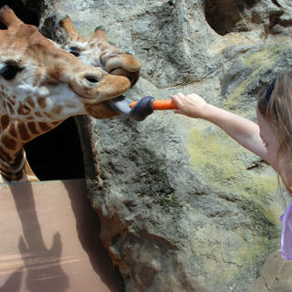 Girl feeds giraffe