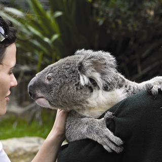 Koala encounter
